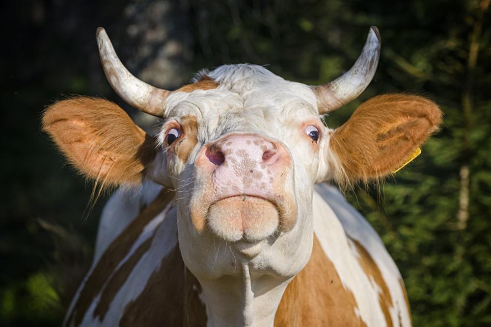 Jeho kráva zabila turistku a farmář musí platit pozůstalým. Verdikt soudu může dopadnout na turistiku